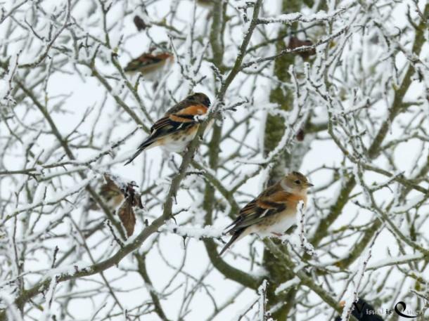 Buchfink Auf Baum