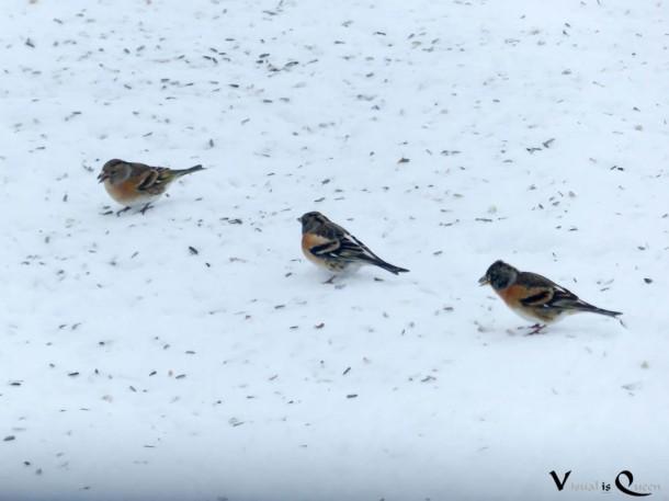 Drei Buchfinken