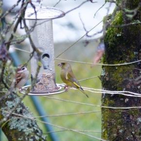 Spatz Und Grünfink