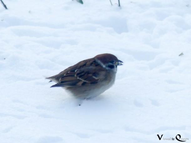 Spatz Ohne Schwanz Im Schnee