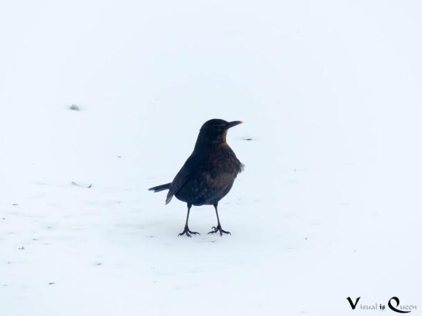 Amsel-Weibchen im Winter