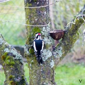 Buntspecht am Baum
