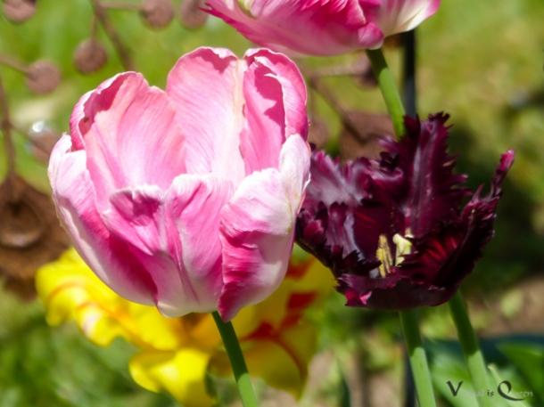 Tulpen Rosa Dunkel